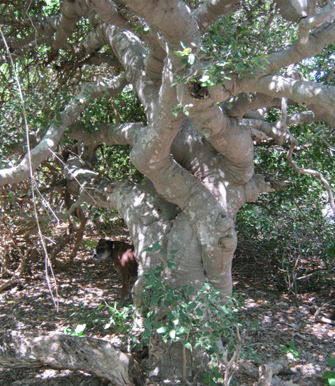 very old trunk of Celtis phillipensis in heart of rare Monsoonal Vine forest