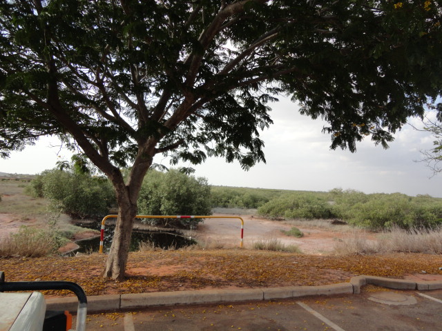 High tide laps the car park and floods these mangroves twice a day.