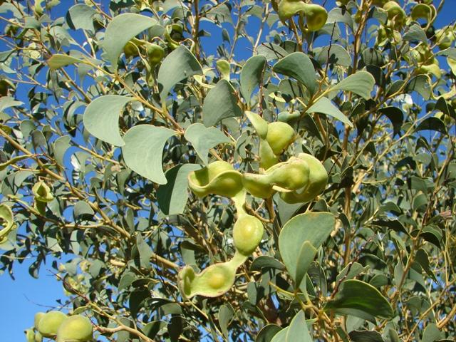 Acacia anaticeps1