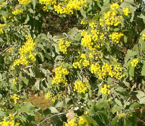 Acacia dunnii2