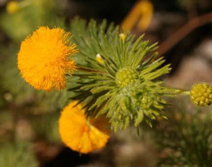 Acacia hippuroides2