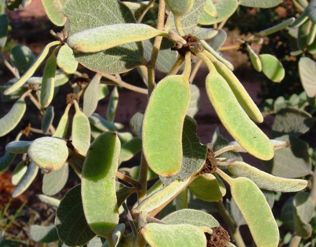Acacia retivenea1