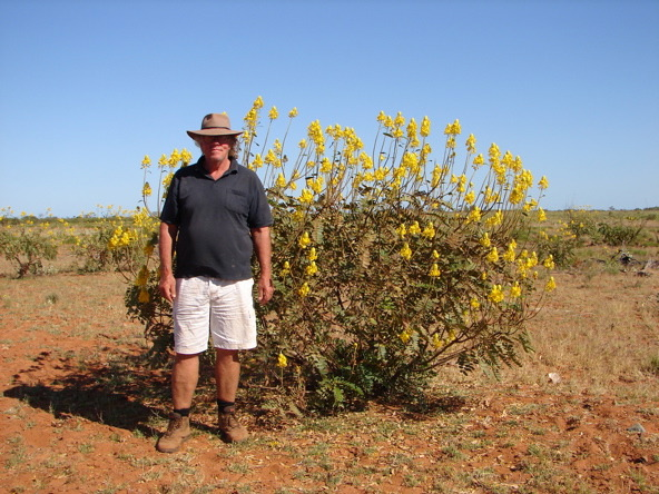 Author, with Senna venusta in the Pilbara near Port Hedland