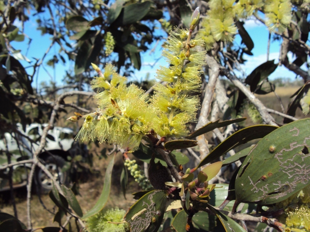 Melaleuca species at risk