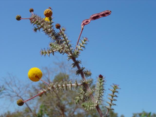 Acacia lycopodifolia