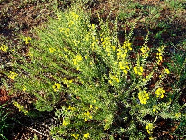 Acacia nuperima 1