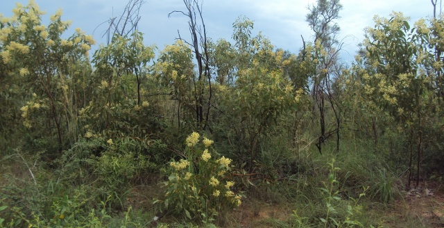 Acacia platycarpa3