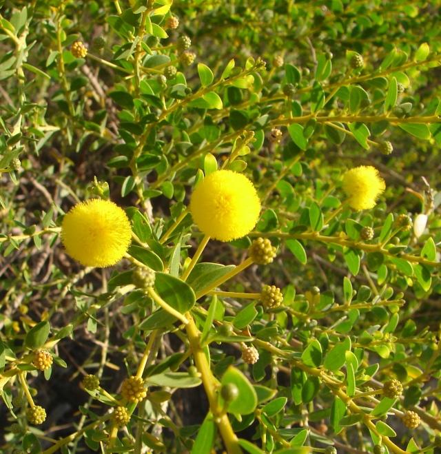 Acacia translucens