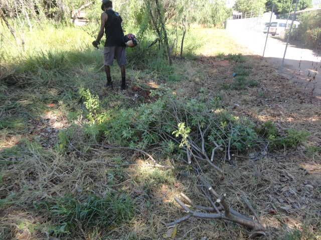 killing off and removing noxious weeds, Bellyache Bush