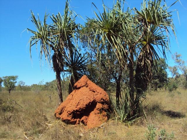 Pindan post and Pandanus Palms