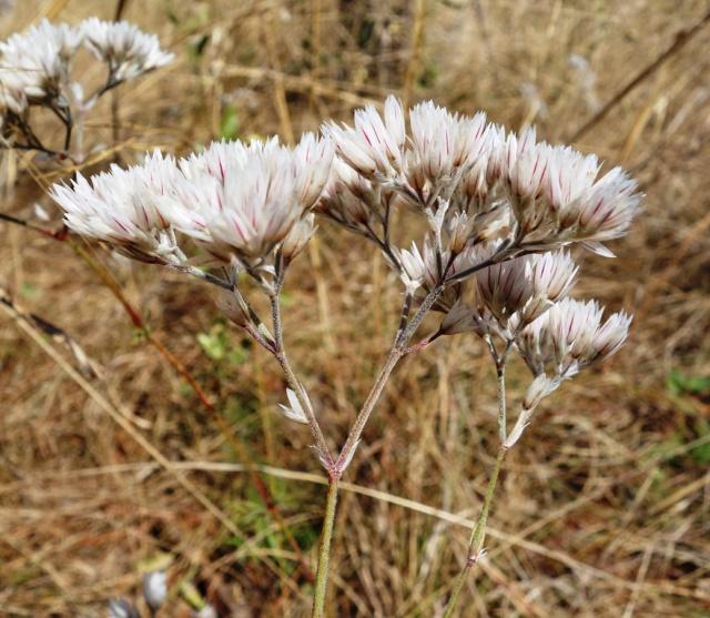 Polycarpaea longifolia