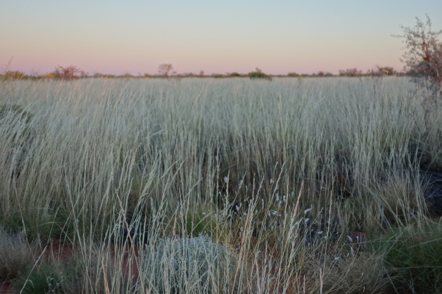 seed stems on spinifex hide many herbs