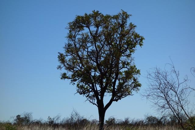 Owenia reticulata, Desert Walnut