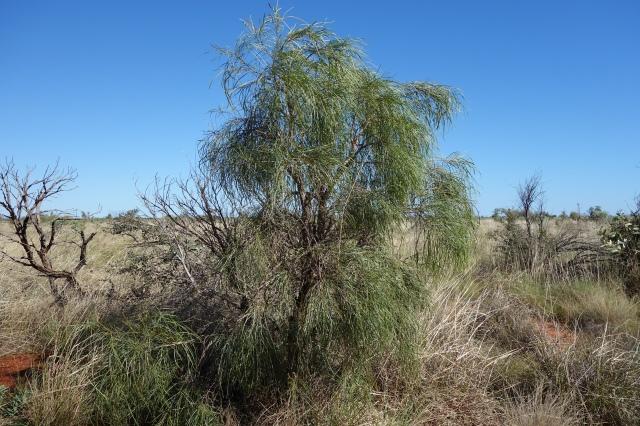 Acacia coriacea