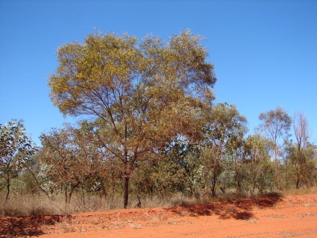 Pindan wattle, Acacia eriopoda, on side of road