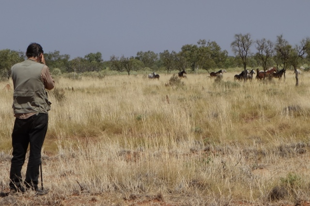 Wild horses at Sturt Creek