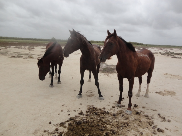 local wild stallions with their piles of ....