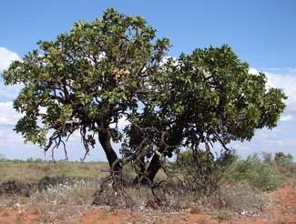 Desert Walnuts, Owenia reticulata