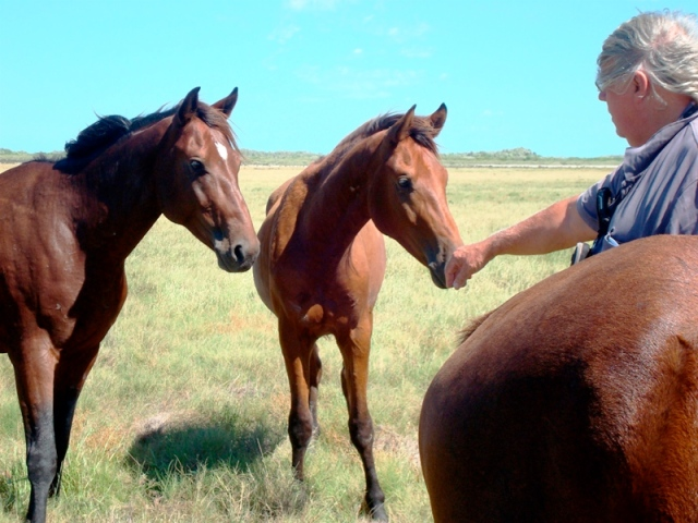Broome's wild horses, not so wild any more
