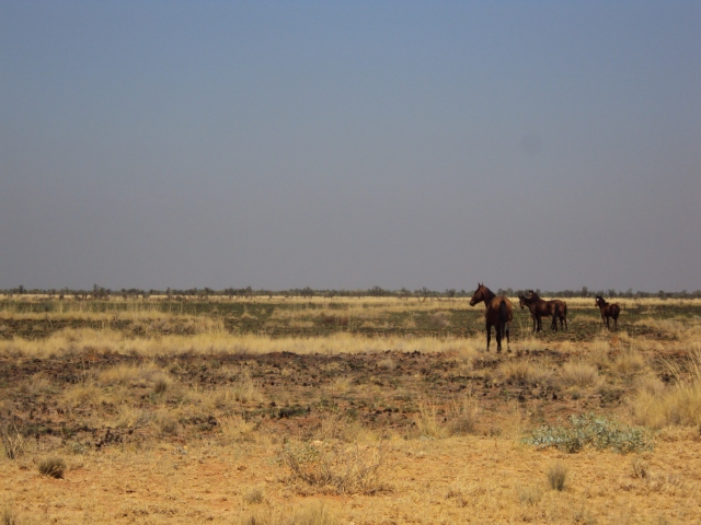 Tanami desert wild horses