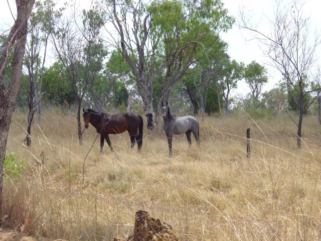 Tableland horses