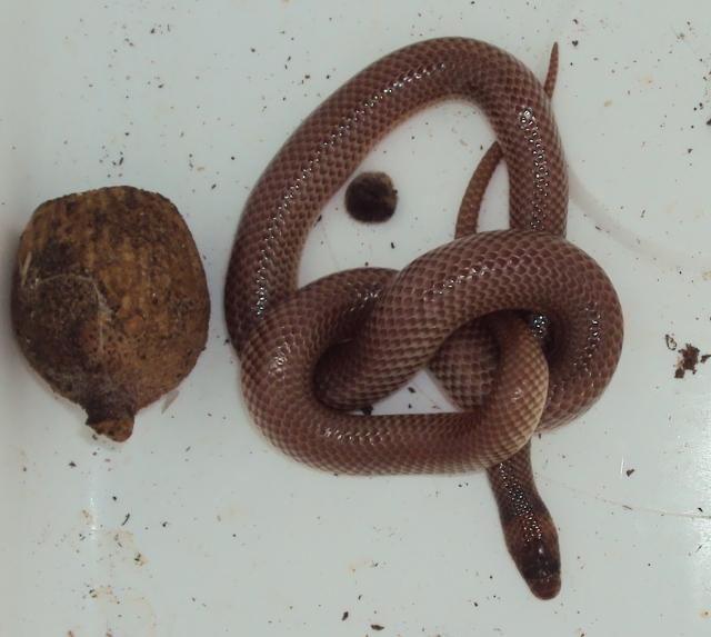 Orange Naped Snake