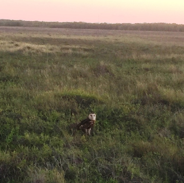 Rare Grass Owl