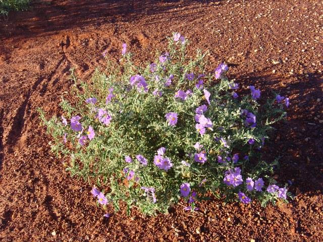 Solanum diversifolia