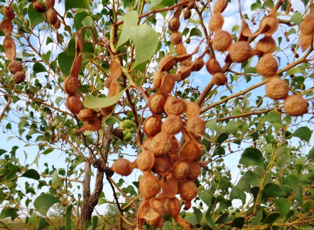 Acacia anaticeps