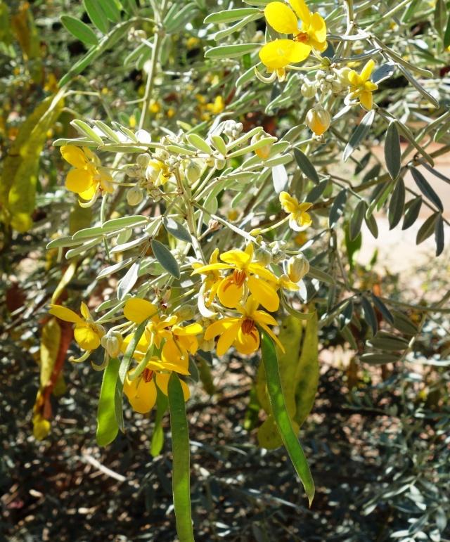 Senna artemisioides ssp desolata