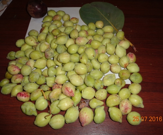 Terminalia ferdinandiana fruit.