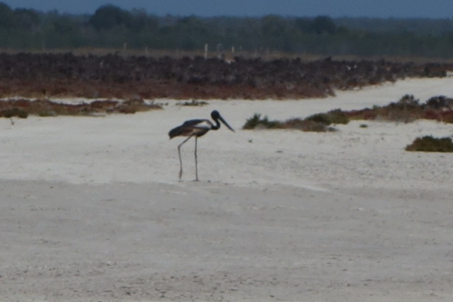 Black-necked Stork, or Jabiru