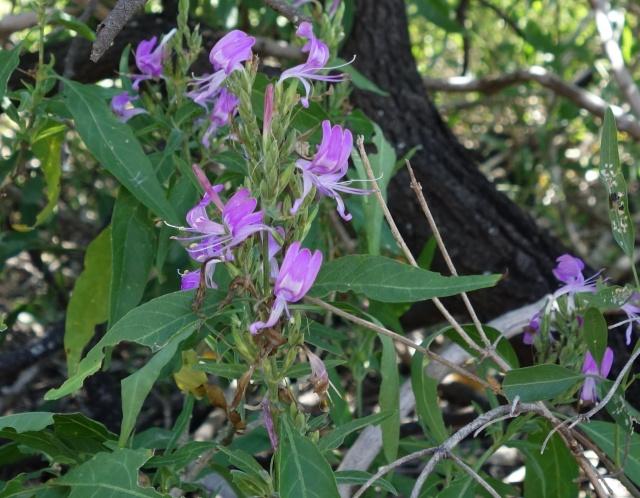 hypoestres-florabunda