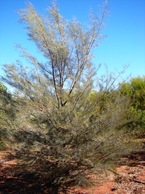 acacia-aneura
