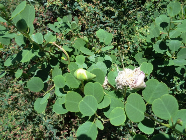 capparis-spinosa-2