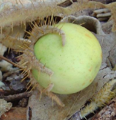 solanum_b-_fruit_1_1